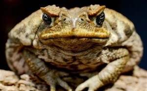 cane-toad_2246996b